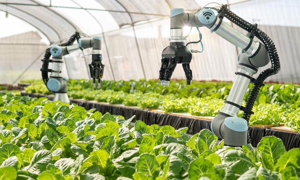 ربات ها در مزرعه کاهو در گلخانه